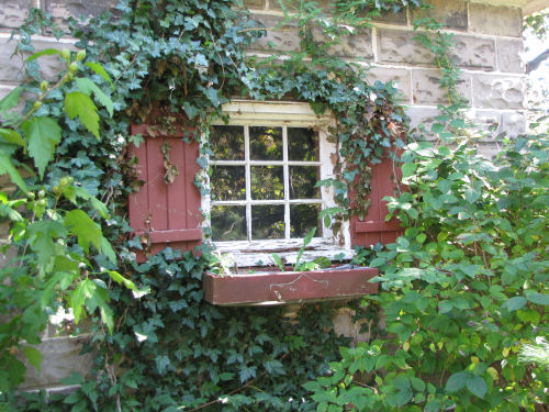 ivy-covered window