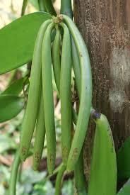 Vanilla Bean Plants - How to Grow a Vanilla Plant at Home - Tree homes