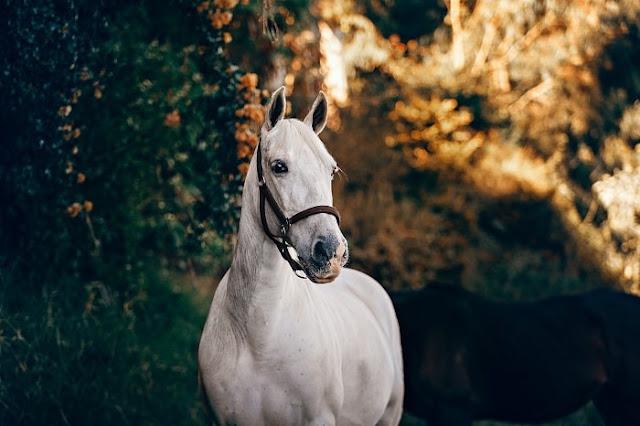 cheval-étalon-cheval-blanc