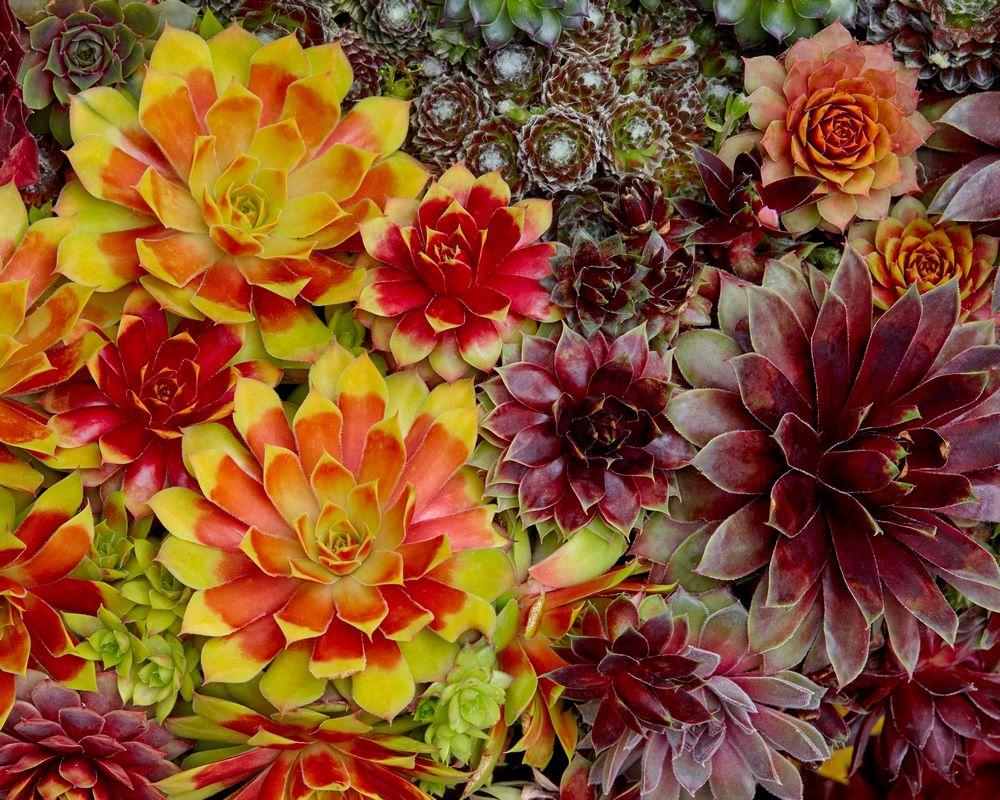 Suculenta siempreviva Sempervivum follaje amarillo dorado y rojo