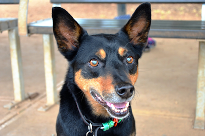 A photo of a black and brown Kelpie with big ears