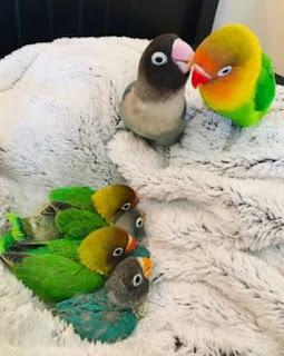 Perolehan Warna Lovebird Jika Dipasangkan / Kawin Silang