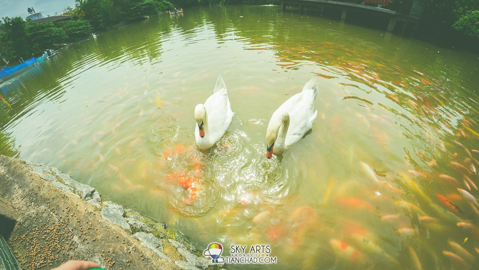 You can feed both the swans and the koi fishes in the lake