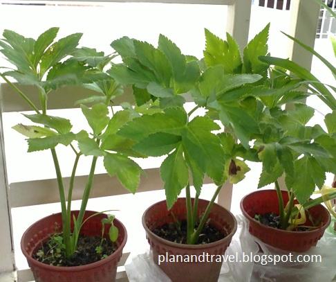 Where can i buy ashitaba plants