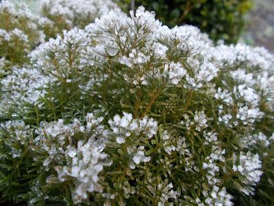 Thuja occidentalis Love your garden in winter Evergreens Green Fingered Blog