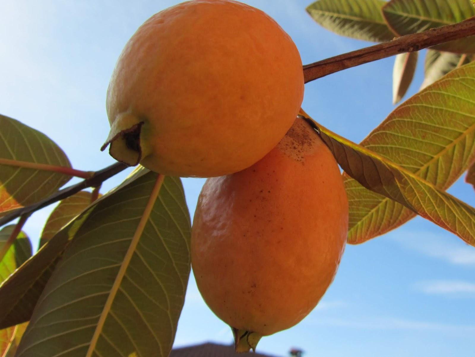 Piante Da Frutto Sempreverdi il gusto della natura: coltivazione del guava (psidium