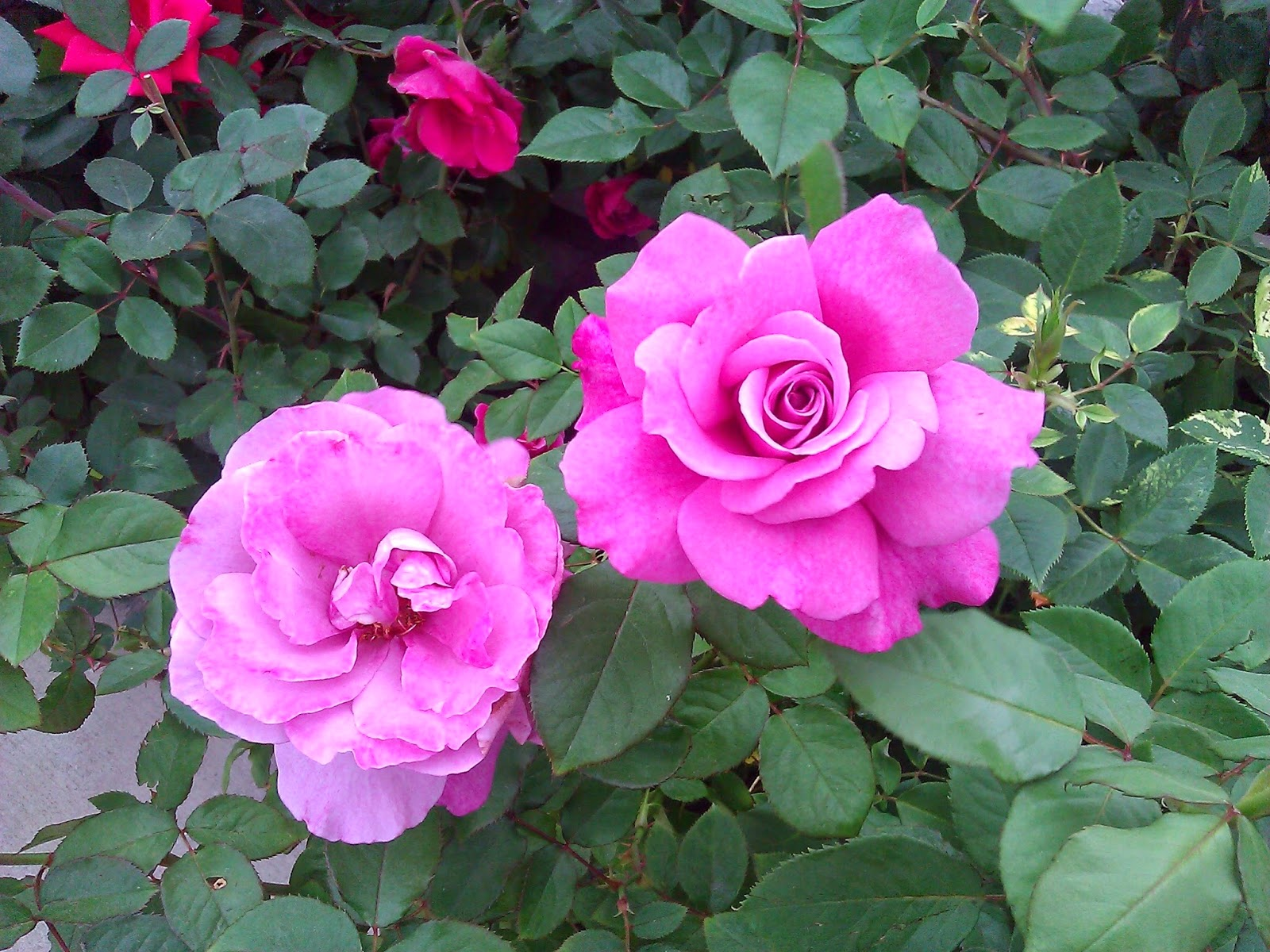 Two bright pink roses.