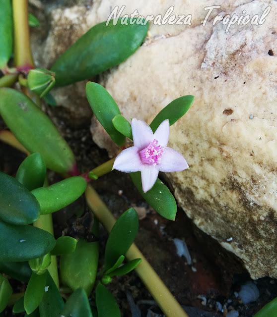 Vista de la flor característica de la planta suculenta Sesuvium portulacastrum