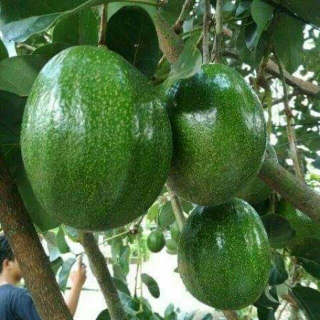 Ready! Bibit buah alpukat markus super Kota Jakarta #jual bibit buah genjah