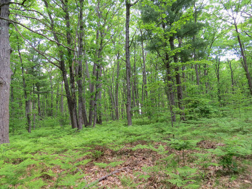 deciduous forest with ferns