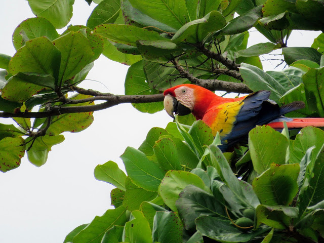 Costa Rica Wildlife: Scarlet Macaw in Jaco