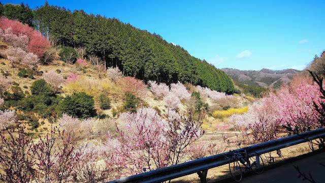 ソメイヨシノの見頃の少し前の時期に越生からときがわ町、小川町、東秩父村の花桃の名所を巡って鉢形城跡の樹齢400年のエドヒガンで折り返し、枝垂れ桜や安行寒桜など早咲きの桜を見ながら川越まで走るサイクリングコース