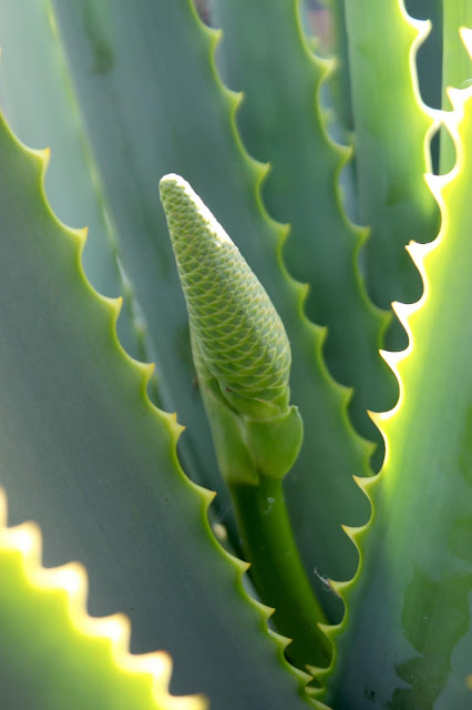 Aloe mutabilis close up