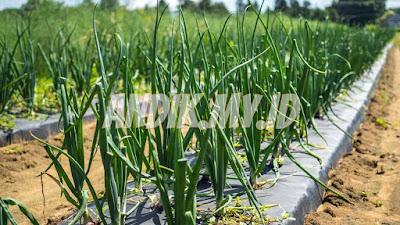 berkebun organik, pertanian organik, sayuran organik