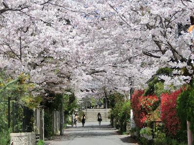 浄妙寺の桜