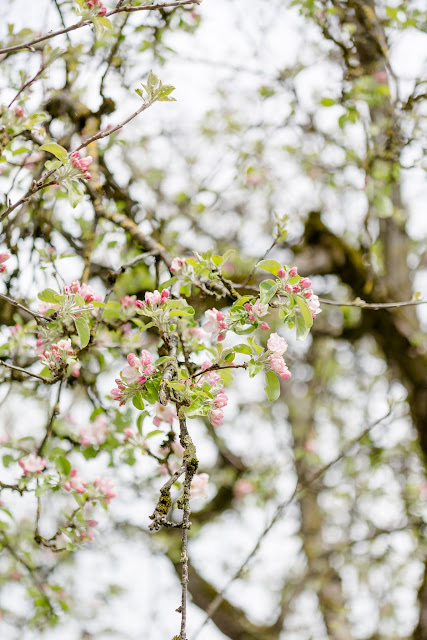 Garten im April, Pomponetti, Apfelblüte