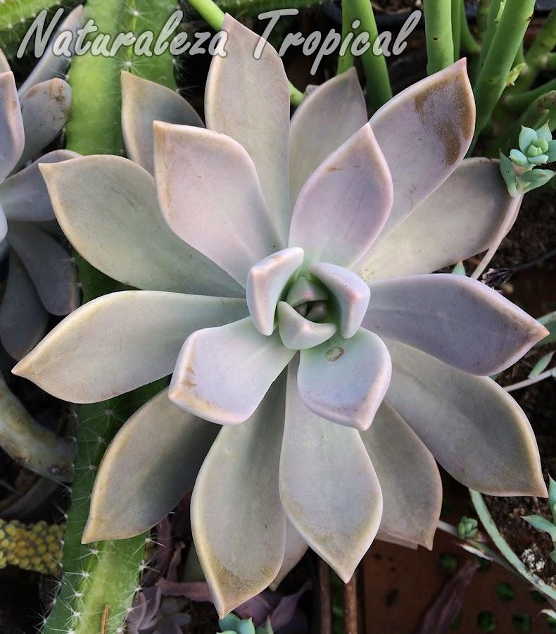 La pruina le da la coloración marmolada típica de las hojas y tallos de la suculenta Graptopetalum paraguayense