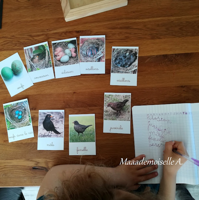 Cartes de nomenclature Cycle de vie du merle noir