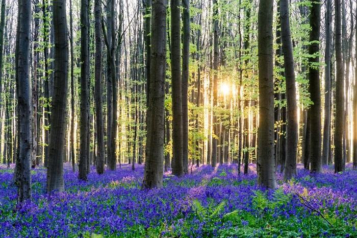 Melihat Pesona Hallerbos, Hutan Terindah di Belgia