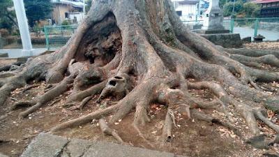 相模原上九沢八坂神社の大木