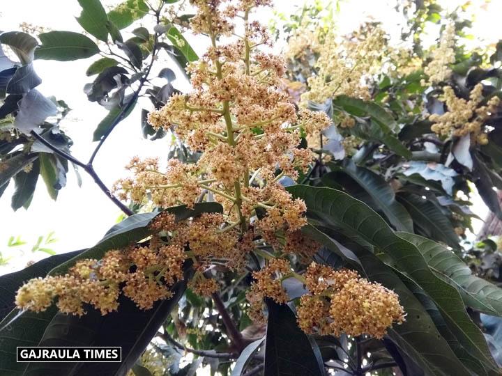 mango-tree-pic