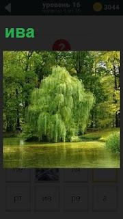 На берегу озера распустилась ива и склонилась ветвями над водой