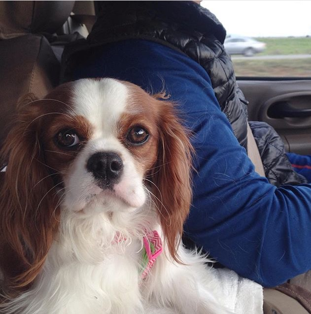 Blenheim Cavalier King Charles Spaniel in car