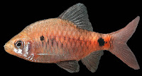 http://sciencythoughts.blogspot.co.uk/2012/12/a-new-species-of-spotted-barb-from.html