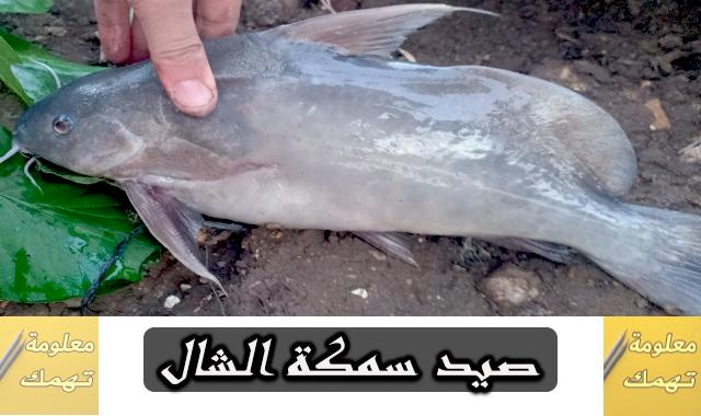 صيد سمك الشال البلدى