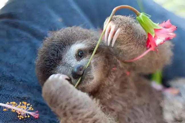 Organization Rehabilitates Baby Sloths That Lost Their Moms