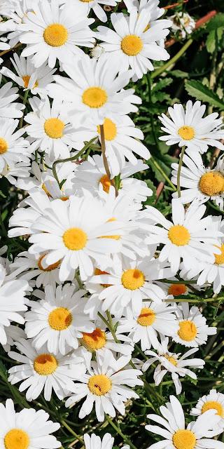 White daisy phone wallpaper