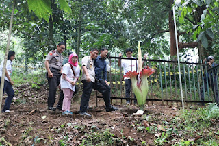 Bunga Bangkai Mekar di Kebun Raya Bogor