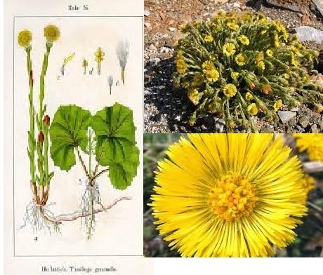 Βήχιο το βότανο που έχει βρογχοδιασταλτικές ιδιότητες.