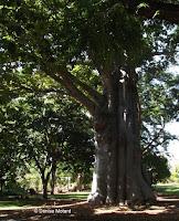 Large baobab tree, Foster Botanical Garden - Honolulu, HI