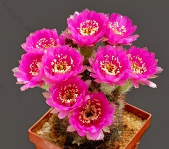 http://www.funmag.org/pictures-mag/flowers/beautiful-cactus-flower-30-photos/