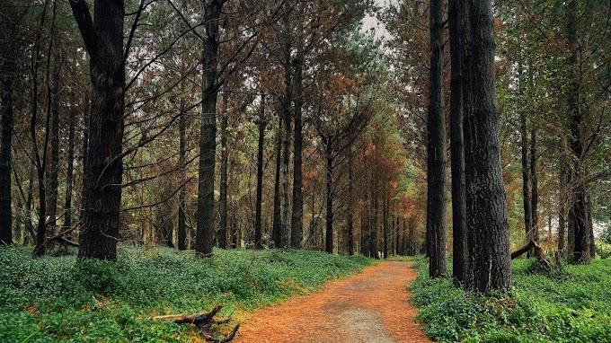 Floresta, Pinho, Caminho, Árvores, Natureza