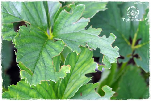 Gartenblog Foodblog Topfgartenwelt Dickmaulrüssler bekämpfen: angefressene Blätter bei Erdbeeren Erdbeerpflanzen