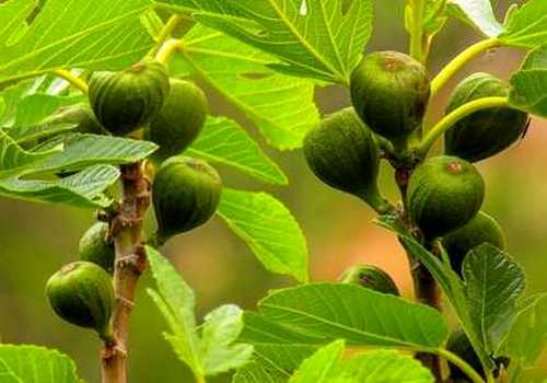 Fig tree with fruits