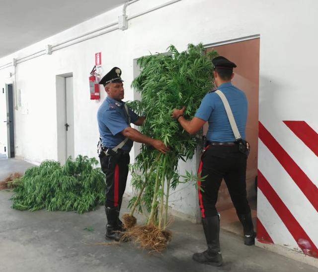 Cagnano Varano (FG), i Carabinieri sequestrano 100 piante di marijuana, arrestato 56enne