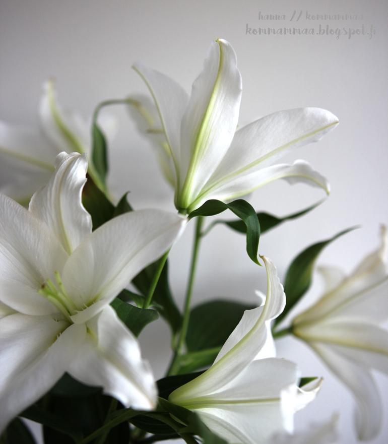lilja valkoinen kukka vauva lapsi tyttö poika nimipohdinta
