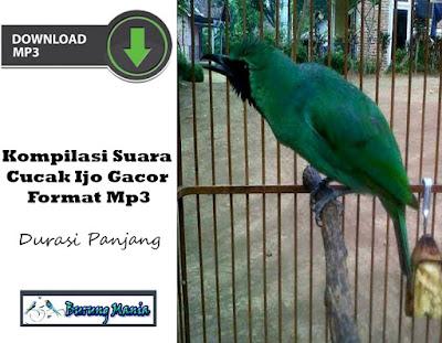 Kompilasi Suara Cucak Ijo Gacor Format Mp3