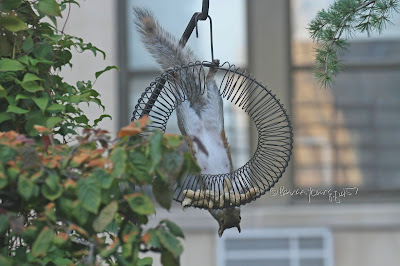 "The focus of this photo is a squirrel hanging upside down. I'm unsure of the gender so I'll use the male pronoun in my description.  He has suspended himself by clinging to a feeder intended for birds. The feeder which is made of coils and shaped like a wreath and has the function of ""holding"" peanuts within a shell. The creature featured here is very skilled at being acrobatic and is attempting to survey the peanuts within the bottom of feeder. This ""scene"" occurred in my garden, which is the setting for my book series, ""Words In Our Beak."" Info re these books is included in another post within this blog @ https://www.thelastleafgardener.com/2018/10/one-sheet-book-series-info.html"