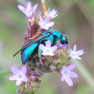 Native Mason Bee