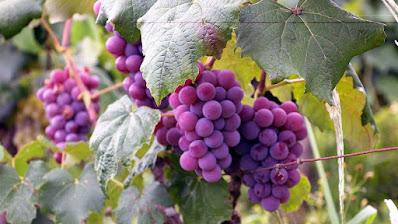 feria de la uva cuatro ciénegas 2021