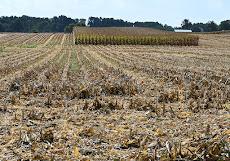 Ferida's backyard Corn Rows
