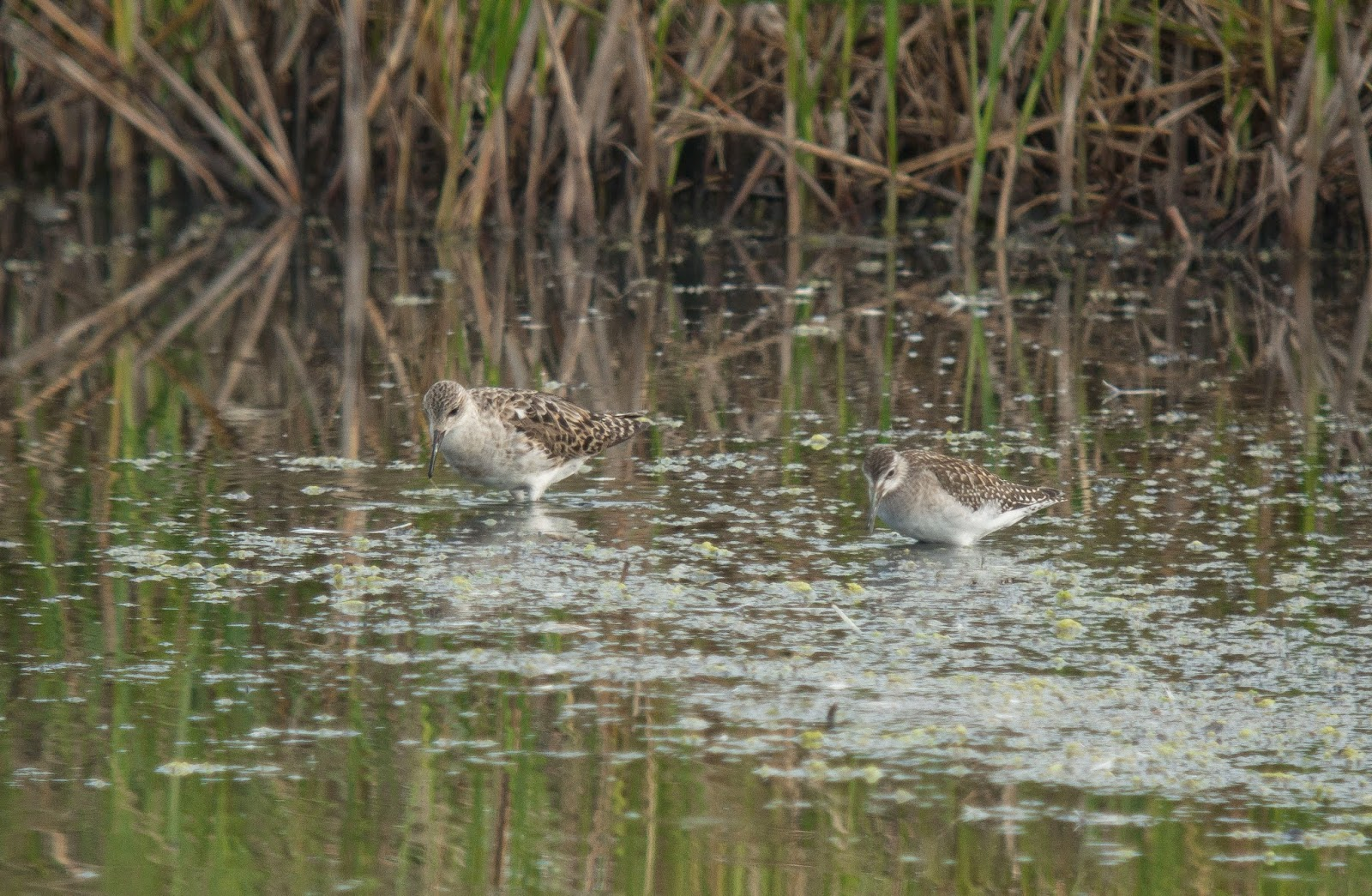 Ruff and Wood Sandpiper, Pennington Marsh - Simon Colenutt