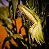 Economia| Com alta demanda mundial pelo milho, MT dobra volume exportado em 2019