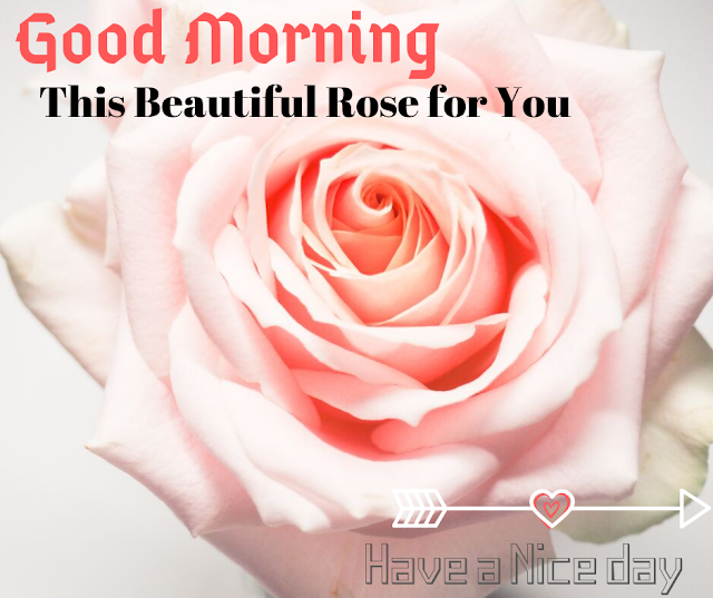 A gold color rose  Good Morning  Images