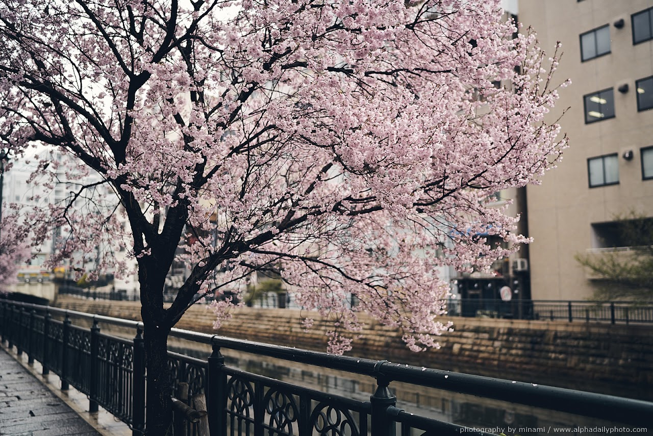 Cherry blossom in a rainy day