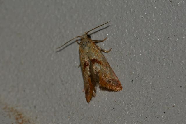 Falseuncaria sp